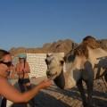 Agusia karmi wielbłąda