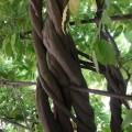 Ciekawe zawijające się drzewo wogrodach Schonbrunn
