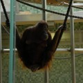 Małpka wzoo sikająca